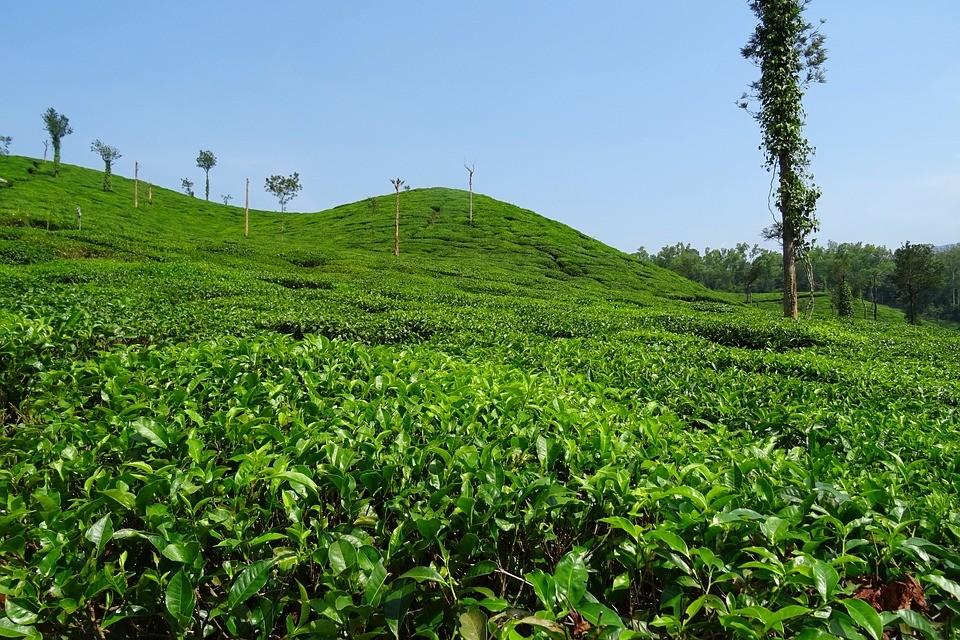 Kelagur tea estate